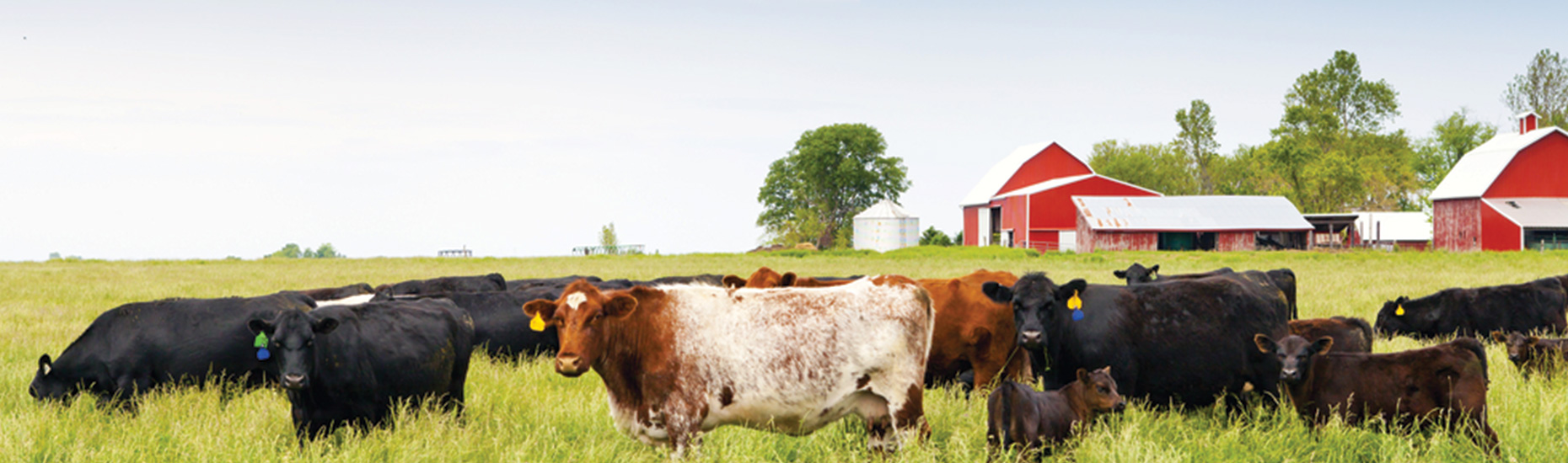 cattleontherange